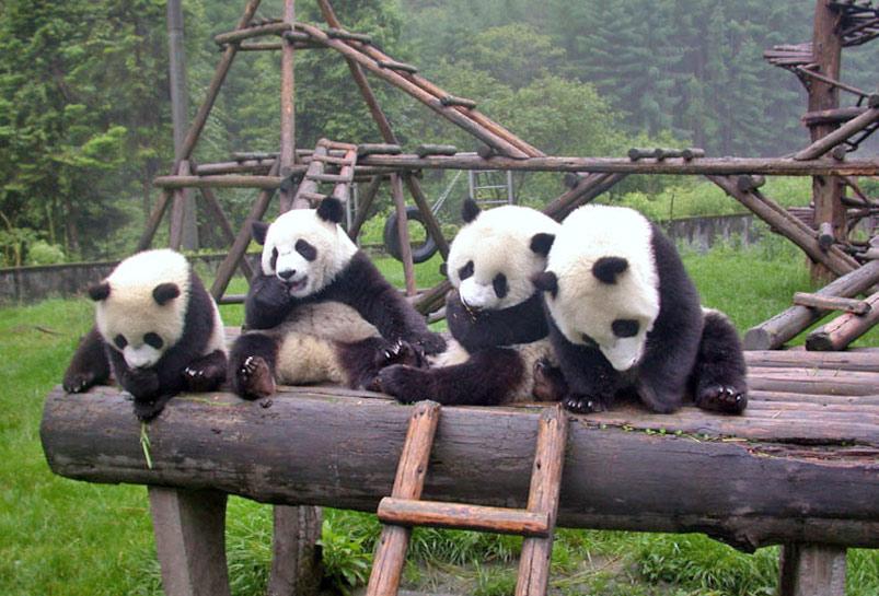 Chengdu's Panda Sanctuary